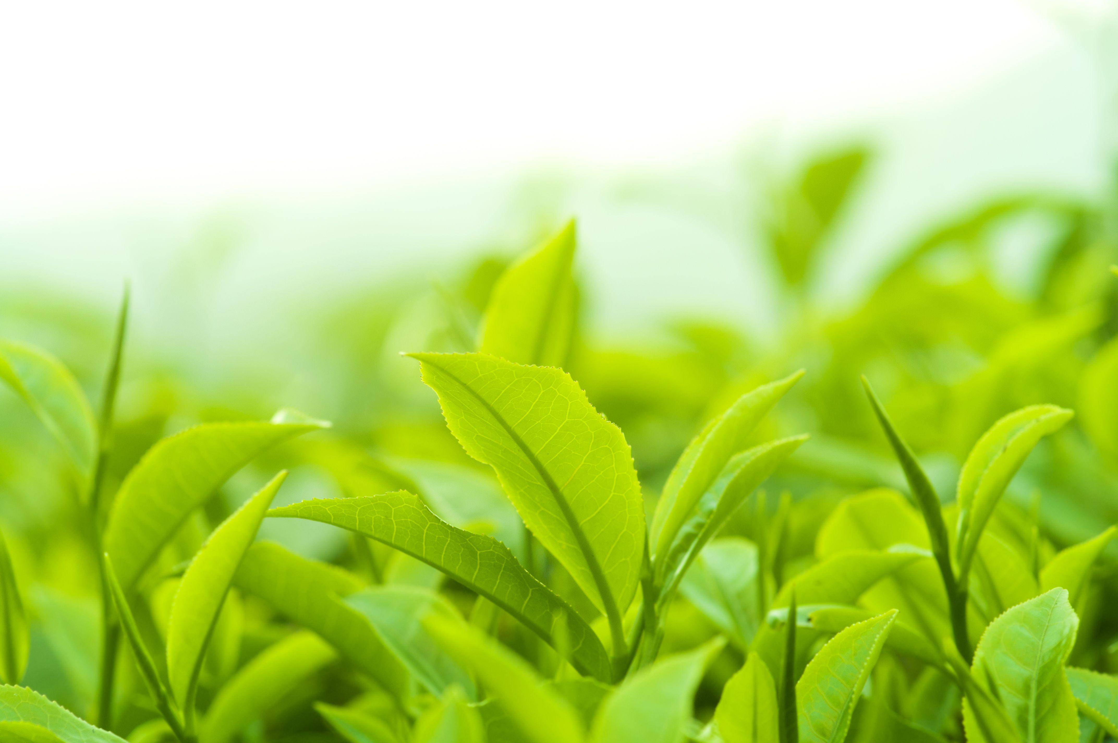 green tea zelený čaj gymbeam účinky na zdravie