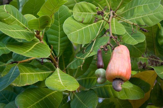 kešu orechy natural